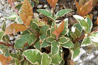 フイリヤブコウジは、斑模様が特徴的な小低木。観葉植物としても楽しむことができます。