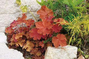 別名ツボサンゴとも呼ばれる葉色のバラエティーが豊富な多年草。ヒューケラ