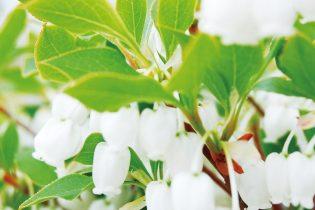 ドウダンツツジは、春に壺型の可愛らしい花が咲き、秋の紅葉も美しい落葉性の花木です。