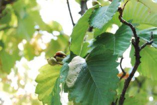 アズキナシ:端正な樹形と清楚な花、秋に実る赤い実など鑑賞性の高い落葉樹