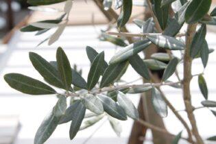 銀葉が美しいオリーブの木